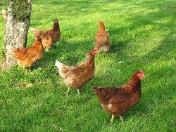 10 raisons d aimer les ufs et casser le mythe du for Top 10 des poules pondeuses